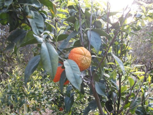 Siziilien ist das Land, wo die Zitronen blühen. Orangen und Mandarinen auch.