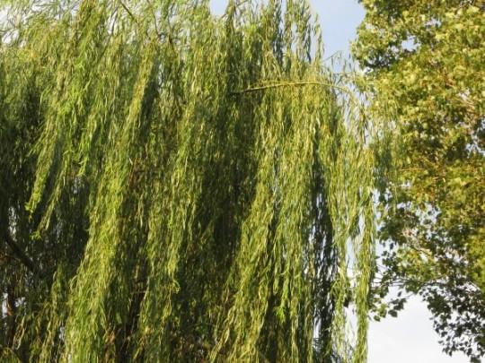 Der große Weidenbaum, in dem es raschelte...