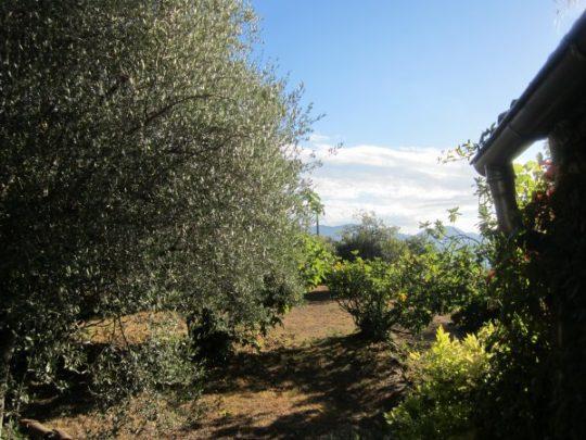 Schöne alte Olivenbäume im Garten